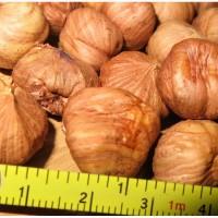 Продам саженцы вегетативные отводки крупного ореха-фундука Трапезунд