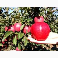 Продаем оптом КРЫМСКИЕ яблоки І сорта (фракция 60+до 80) урожая 2017