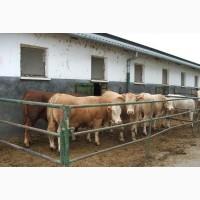 Продам Быков коров живым весом 480 + 600
