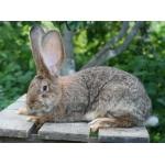 Кролики-гиганты породы: Фландр, Ризен, Бельгийский Баран. Красноярск.