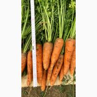 Продам оптом морковь, урожай 2018 года