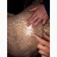 Продаем шкуры взрослых овец, меринос. лакса