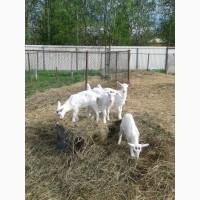 Продам козлят чистопородных Заанеских