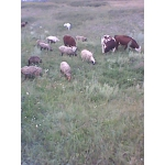 Овцы, ярки, ягнята, бараны, баранчики на разведение и на мясо