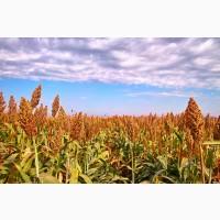 Продаем фуражное зерновое сорго в мешках