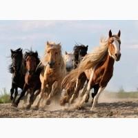 Закупаем на постоянной основе лошадей, крс на убой