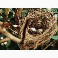 Инкубационные яйца перепелов породы Золотистый Феникс