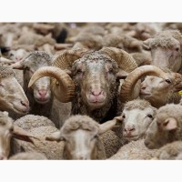 Экспорт МРС, барашки, бараны, овцы на Узбекистан