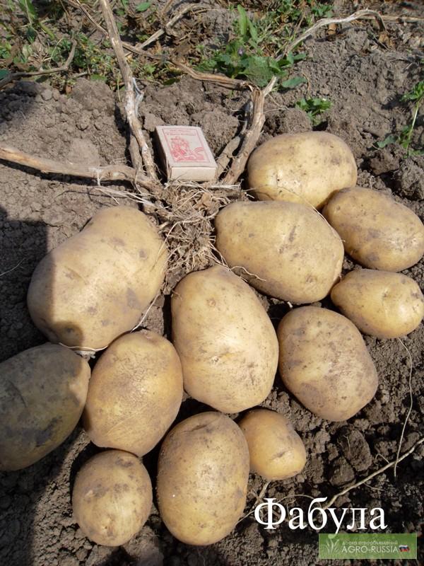 купить семена элитного немецкого картофеля в рб