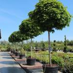 Предложение Краснодарского питомника. Саженцы уличных деревьев оптом