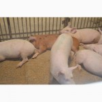 Свиньи на откорм от 40-60кг