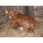 Молодняк мясной породы Обрак