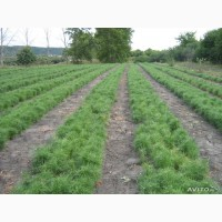 Сеянцы хвойных и лиственных деревьев 2 - 3 х лет