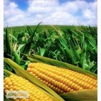 Гибридные семена кукурузы зарубежного производства: Пионер, Сингента, Монсанто, КВС