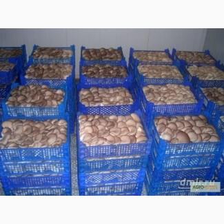Продаю грибы вешенка не фасованные