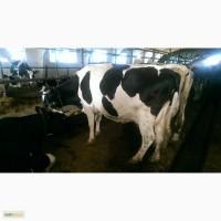 Товарные дойные коровы Черно-пестрой породы