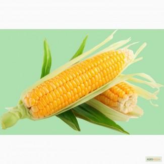 Семена гибридов кукурузы НК Фалькон, Нерисса, Делитоп (Syngenta)
