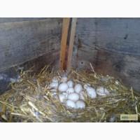 Инкубационное яйцо уток