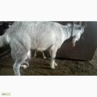 Продаю коз пуховых, и зааненских дойных