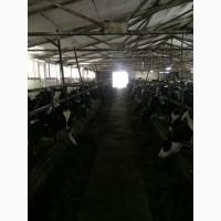 Продажа товарных нетелей черно-пестрой голштинизированной породы