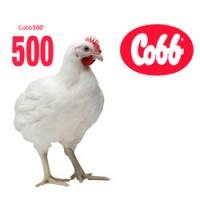 Инкубационное яйцо кросса КООББ-500