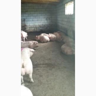 Свиньи в живом весе