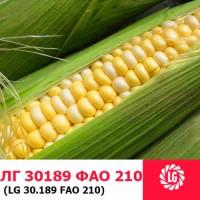 ЛГ 30189 (ФАО 180) гибрид кукурузы ЛИМАГРЕЙН (Limagrain)