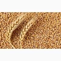 Ячмень пшеница рожь овес горох
