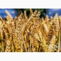 Семена озимой мягкой пшеницы сорт Безостая 100 РС1/РС2