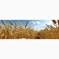 Высокопродуктивные сорта оз.пшеницы - Аскет, Аксинья, Станичная, Краса Дона, Ермак, Лилит
