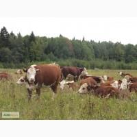Продаются бычки и телки мясных пород