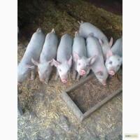 Поросятки от свинофермы, от 10 голов
