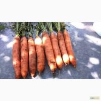 Морковь свежая столовая