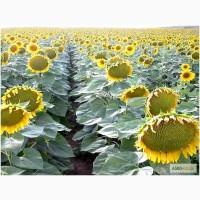Гибридные семена подсолнечника зарубежного производства: Пионер, Сингента, Лимагрейн, НС