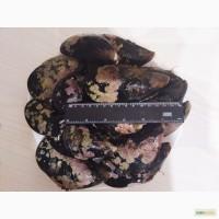 ООО Сантарин, реализует свежие устрицы, мидии(Владивосток)