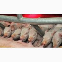 Поросята. Кастрированные боровы и красавицы свинки