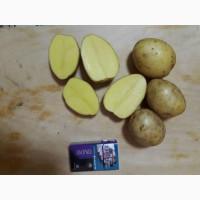 Картофель оптом белые, круглые сорта 50+ с холодильника