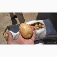Картофель урожай 2019 года
