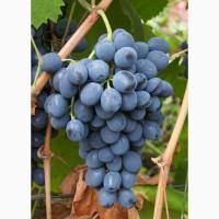 Продаётся виноград оптом (КФХ)