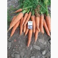Продам морковь продовольственную, сорт Абако