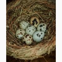Инкубационные яйца перепелов породы Техасский белый бройлер