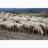 Экспорт МРС, барашки, бараны, овцы на Киргизию