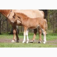Забайкальские лошади на продажу