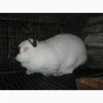 Кролики скороспелых мясных пород на племя