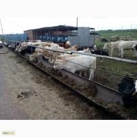 Телки симменталы 150-250 кг