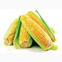 Гибриды семена Кукурузы (Pioneer, Syngenta, Monsanto, NS, Limagrain)