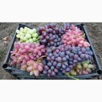 Продаем оптом виноград по цене от производителя
