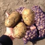 Картофель Гала на хранение опт