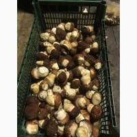 Белый гриб оптом свежий урожай 2021г