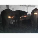 Продам лошадей на мясо крупными партиями